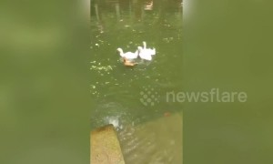 Chicken spotted swimming with family of ducks in a pool in China