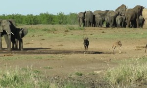 Elephant chases animals from