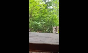 Mountain Lion Attempts to Enter Cabin