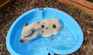 Piglet cools down in her pool