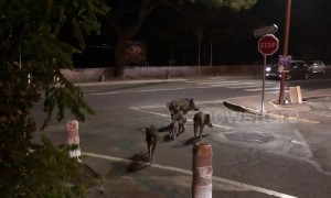 Too cute! Family of wild boar crosses road in South of France