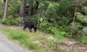 Black Bear Charges at Runner