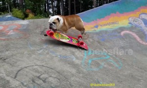 Bulldog 'shreds' it on the skateboard