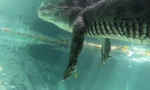Swimming Underneath an Alligator in the Everglades