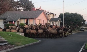 Huge Elk Herd Gather Outside House