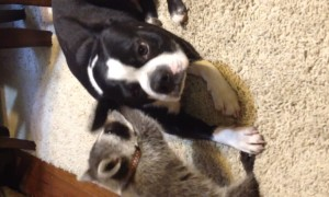Baby Raccoon Befriends Dog