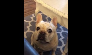 Angry French bulldog throws a tantrum like a child over Cheerios