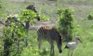 Playful baby zebra loves chasing down stork birds