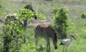 Playful baby zebra loves chasing down stork birds