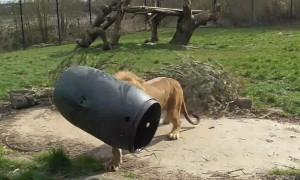 Unlucky lion gets head stuck inside barrel
