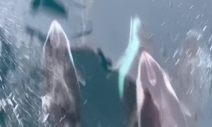 Dolphins Swing Just Below the Surface