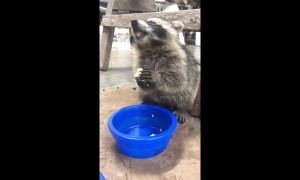 Baby raccoon eats banana