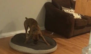 Dog Gets Bed Ready Before Lying Down
