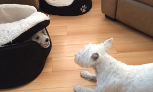 Puppy hilariously plays hide and seek from under doggy bed