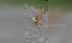Crafty Thai dog fakes injury