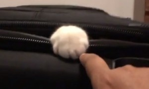 Determined cat claims suitcase, refuses to allow owner to pack