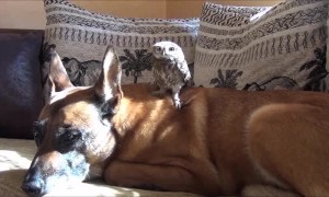 Tiny owl adorably lounges on much larger dog