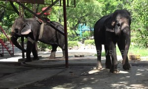 'Mistreated' elephants perform for tourists at 'controversial' Thai zoo