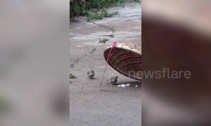 Heartwarming footage shows a sparrow beating a trap to retrieve food for its friend in China