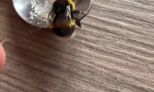 Nursing a Bee Back to Health