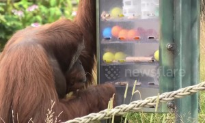 Clever orangutan uses tools to grab snacks out of 'vending machine'