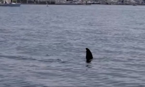 Sea lion pulls off shark impression for paddle boarders