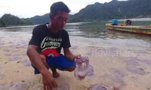 Dramatic video shows hundreds of jellyfish wash up dead on Indonesian beach