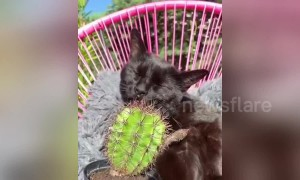 Weird moment cat decides to lick a CACTUS