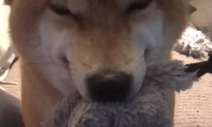 Shiba Inu Stoked Over Stuffed Animal