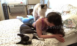 That Saturday morning feeling: Persian cat massages its owner