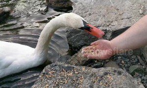 This swan in Canada literally bites that hand that feeds it