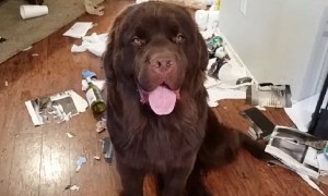 Massive Newfoundland feels no guilt after creating huge mess