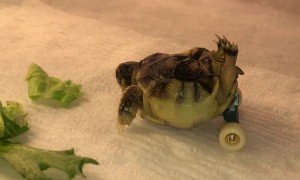 Wheeled Tortoise Gets Around