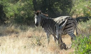 Zebra rubs its rump on tree stump in South Africa to get rid of serious itch