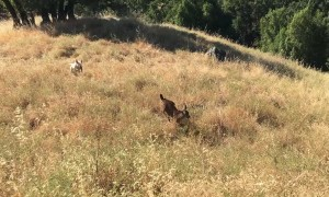 Dog Makes Friends with Wild Fawn