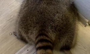Huge Raccoon Wants to Hold Hands