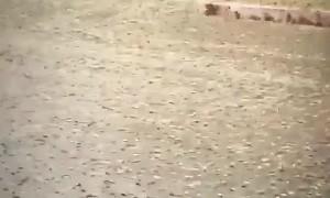 Intense Grasshopper Invasion