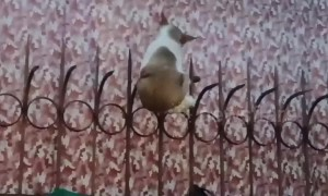 Alley cat gets stuck on railings while trying to seduce a female