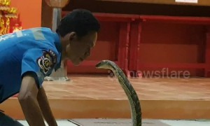 Fearless snake catcher kisses wild king cobra on the lips