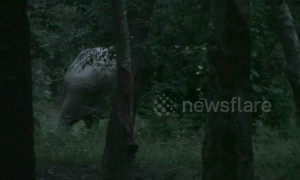 Injured baby elephant tracked by Thai wildlife officials after getting foot trapped in snare
