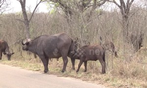 Ouch! Greedy African buffalo headbutts its mother's udder for milk