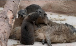 Trio of tiny rock hyrax pups have been born in Chester Zoo