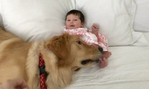 Excited Golden Retriever dog meets newborn baby