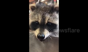 Adorable rescued baby raccoon recuperates in Canadian home