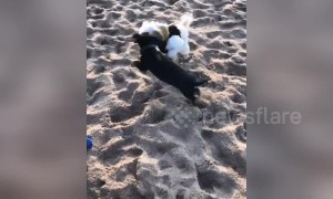 Cute playful puppies take out girl on the beach