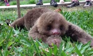 Precious Baby Sloth Takes First Steps