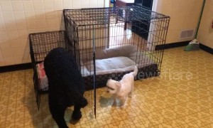 Switcheroo! Hilarious moment giant dog and tiny dog swap beds in Ohio