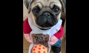 Pug is ready to become a pizza delivery driver!
