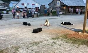 Dogs Herding Ducks