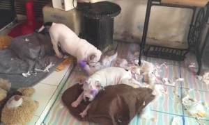 Dogs Destroy the Living Room